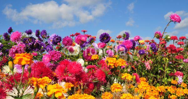 Kolorowe Letnie Kwiaty Zdjec Stockowych I Obrazow Royalty Free W Fotolia Com Obraz 36797595 Plants Nature