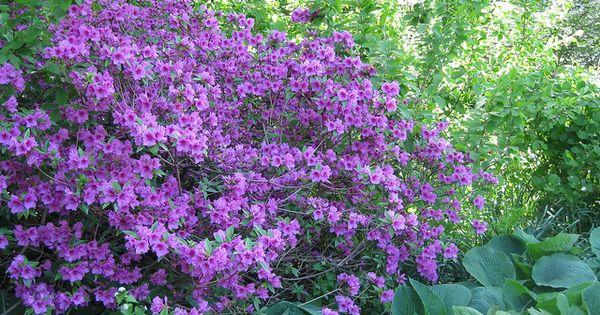 Purple Azalea Bush Azalea Bush Front Yard Landscaping Simple Purple Flowers Garden