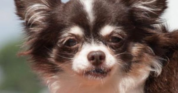 Meet Fairy A 6 Years 5 Months Chihuahua Long Coat Available For Adoption In Colorado Springs Co Chihuahua Small Dog Adoption Puppy Adoption