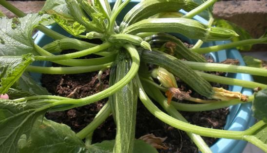 comment faire pousser des courgettes dans un pot sur son balcon jardin pinterest fils. Black Bedroom Furniture Sets. Home Design Ideas