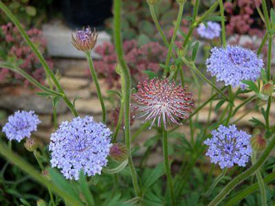 Didiscus Coerulea Blue Lace Blue Lace Blue Garden Lace Flowers