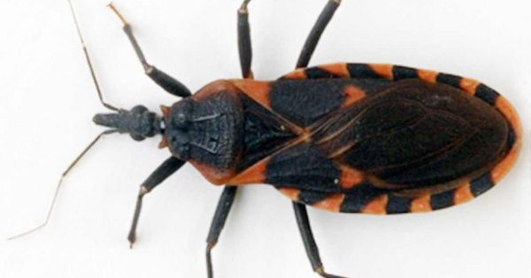 assassin bug or kissing bugs carry chagas disease destroy them pinterest insects dog. Black Bedroom Furniture Sets. Home Design Ideas