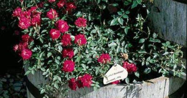 valentine rose floribunda