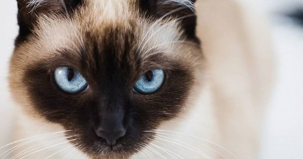 Siamese Cats The Ultimate Guide To Their History Types Characteristics Temperament And Care Siamese Cats Facts Siamese Cats Cats