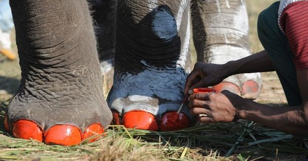 Pedicure by Prakesh Mathema: Elephant Beauty Pageant in Chitwan, Nepal Elephant Nepal