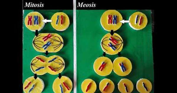 Mitosis Models Youtube Maquetas De Adn Creativas Mitosis Maqueta De La Mitosis