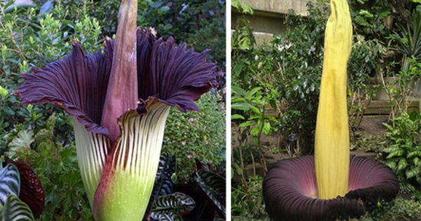 Corpse Flower Another Plant That Smells Like Rotting Flesh 8212 This One Though Can Grow Up To 10 Feet Tall Plants Planting Flowers Deck Garden