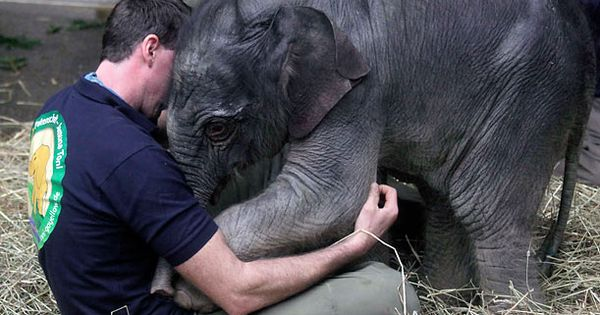 Baby elephant Jamuna Toni cuddles with a zookeeper at Munich's Hellabrunn Zoo;
