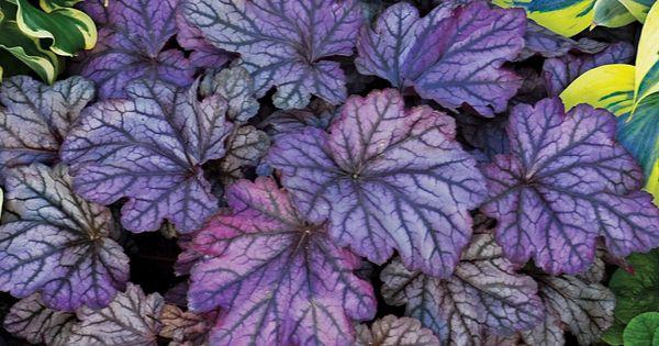 Dolce 174 Blackberry Ice Coral Bells Heuchera Hybrid