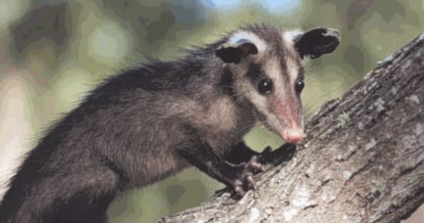 These Mexican Possums Also Called Tlacuches Are Common In Oaxaca These Along With Animals Such As Deer Peccaries Raccoons Armadil Animals Possum Mammals