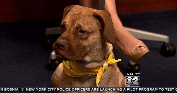 Cbs Pet Of The Week Jane Pawschicago With Images Pets Cbs Police Officer