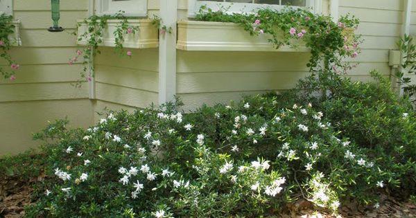 Dwarf Gardenia Varieties In The Front Are All Replaced By Dwarf Gardenia Jasminoides Radicans Dwarf Gardenia Evergreen Shrubs Dwarf Plants