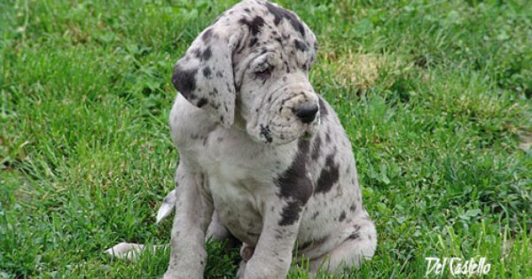 I Really Want To Get A Great Dane Only Problem Is I Live In A 5