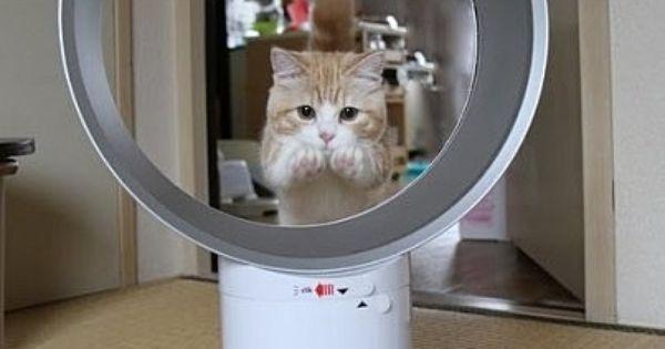 ダイソン 猫が輪くぐりできる唯一の扇風機 マンチカン 猫 ねこ