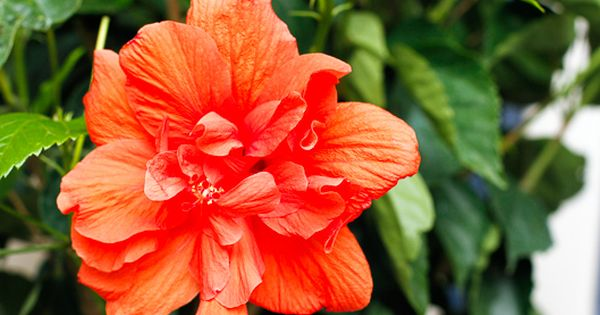 Caring For Hibiscus Plants Vibrant Tropical Hibiscus Plants Can Be Enjoyed Year Round With These Simple Tips Hibiscus Plant Tropical House Plants Hibiscus