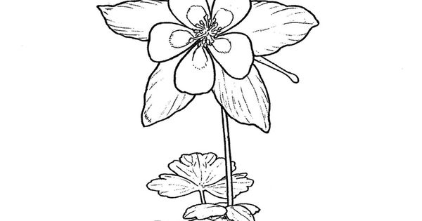 Colorado State Flower Rocky Mountain Columbine