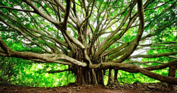 Banyan Tree, Maui, travel tips travel photos| http://travelling-images.blogspot.com