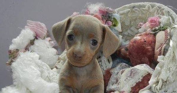 Baby Dachshund Cute Dogs Dachshund Puppies Blue Dachshund