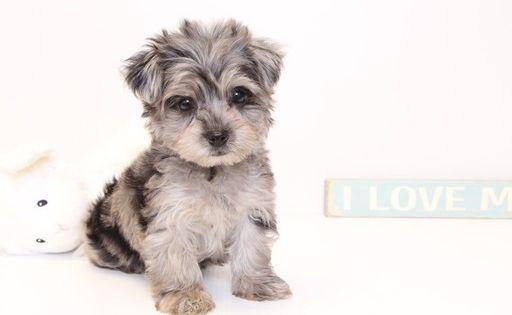 Yorkie Poo Puppy For Sale In Naples Fl Adn 32900 On Puppyfinder