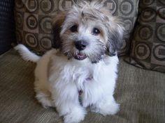 Havapoo Havanese X Poodle Mix Info Temperament Puppies