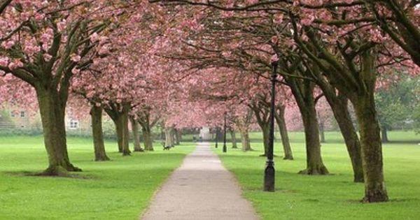 The Cherry Blossom Cherry Blossom Festival Cherry Blossom Blossom Trees
