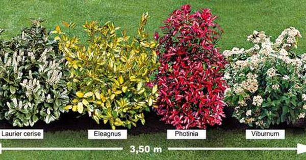 la haie persistante 4 arbustes