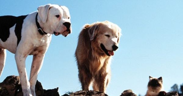 Chance From The Movie Homeward Bound Is An American Bulldog Www