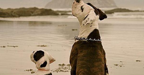 buddies. boxers dogs pets animals puppies bulldog