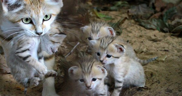Rare sand cat kittens born in Israel | MNN - Mother Nature