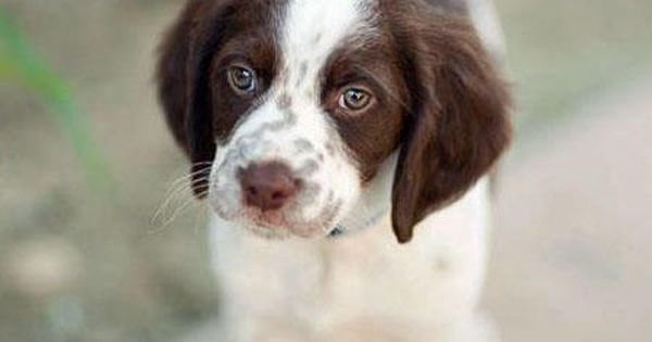 Brittany Spaniel Pup Liver Color We Love The Liver Color