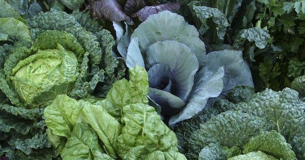 Brassicas in the kitchen garden