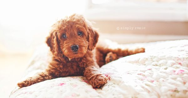micro mini goldendoodle! (?) or just a goldendoodle puppy!