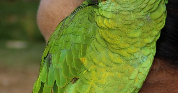 Types Of Green Parrots List Of Parrots Wikipedia The