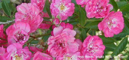 Pruning Roses Garden Care Backyard Garden Garden Rose Care Growing Roses The Potting Bench That You Are About To R Pruning Roses Rose Care Growing Roses