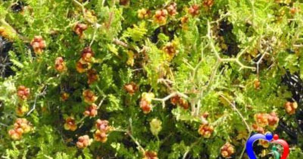 دنيتي فوائد نبات البلان Plants Old And New Testament Parables