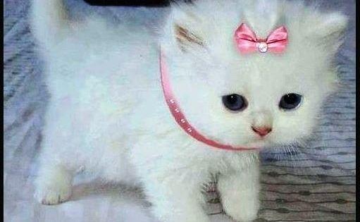 Kucing Anggora Putih Lucu Koleksi 19 Gambar Kucing Anggora Lucu Terpopuler 2018 Download Kumpulan Gamba Kittens Cutest Cute Animals Cute Cats And Kittens
