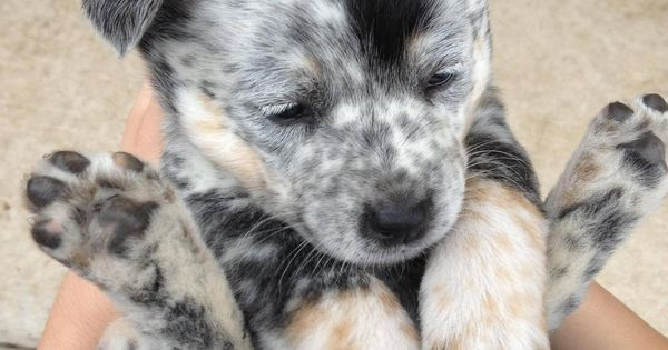 This is the cutest puppy I have ever seen. baby blue heeler