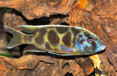 Venustus Cichlids African Cichlids Cichlid Fish