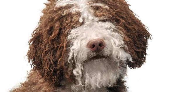 Spanish Water Dog Dog Breed Information Spanish Water Dog Dog Breeds Water Dog Breeds