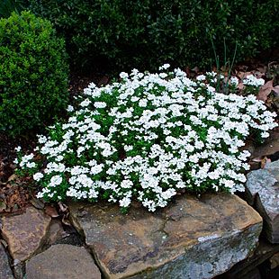 Evergreen Candytuft Finegardening Plants Moon Garden Border Plants