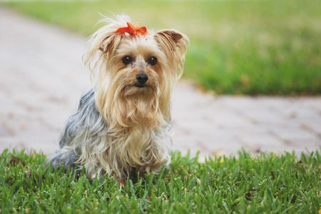 11 Things Only Yorkshire Terrier Owners Understand Yorkshire Terrier Grooming Silky Terrier Yorkie Yorkshire Terrier
