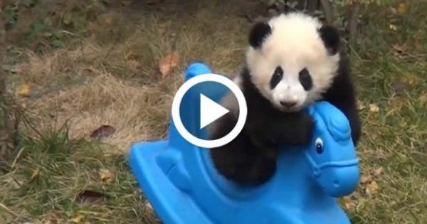 Giant Panda Cubs Playing Cute Baby Panda Playin...