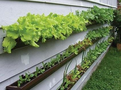 Gutter veggie gardening for the space challenged house owner