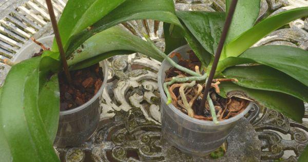 fiche conseil comment bien rempoter une orchid e art. Black Bedroom Furniture Sets. Home Design Ideas