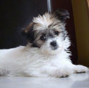 Bonny The Shichi Puppy Funny Dog Faces Dog Breeds Hybrid Dogs