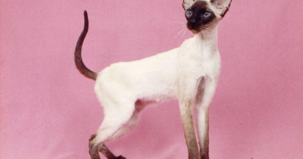 Chinkisiamese Com Cat Breeds Siamese Kittens Cat Breeder