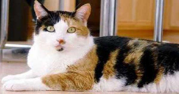 Tips Cara Menggemukkan Kucing Dengan Cepat Info Makanan Agar Tubuh Kucing Bisa Gemuk Dan Sehat Dengan Mudah Http Www Ku Kucing Hewan Peliharaan Kucing Gemuk