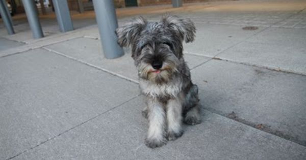 One Bark At A Time Dog Blog Mini Schnauzer Dogs