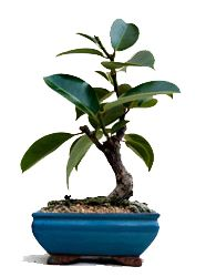 Bonsai Training Guide For Ficus Elastica By Ma Ke Bonsai Ficus Elastica Ficus Rubber Tree