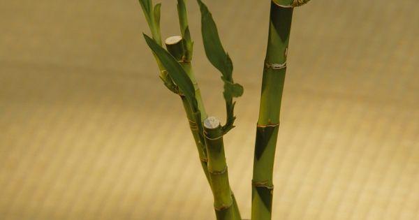 C mo usar el bamb de la suerte para feng shui bamb de for Como practicar feng shui